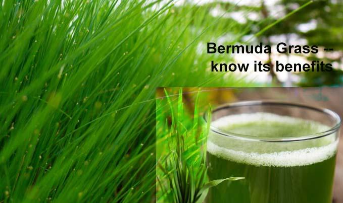 Herbs around you – Bermuda Grass