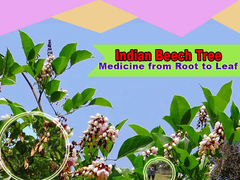 Indian beech tree – medicine from root to leaf