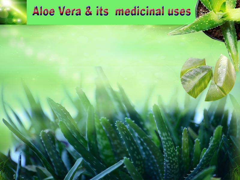 Aloe Vera, the wonder plant