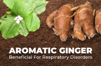 Aromatic ginger: beneficial in treating respiratory disorders