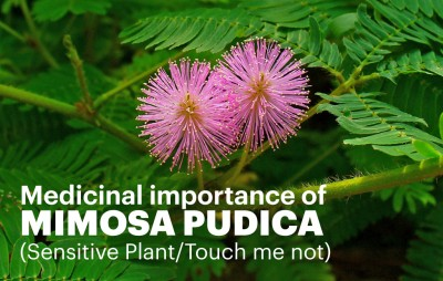 Medicinal importance of Mimosa Pudica