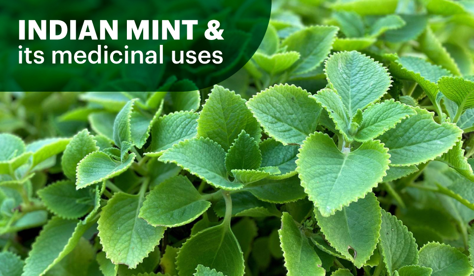 Indian Mint & its medicinal uses