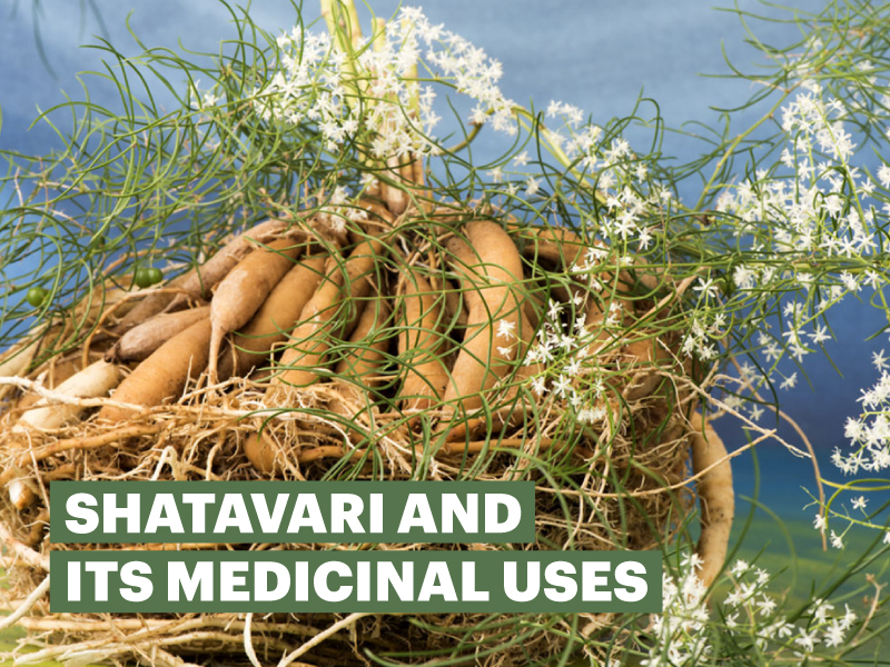 Shatavari and its medicinal uses