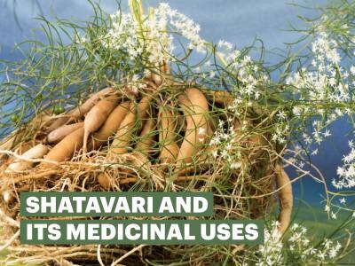 Shatavari and its medicinal uses